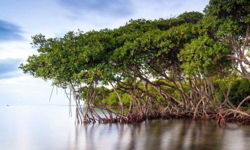 Mangrove Charcoal1.2